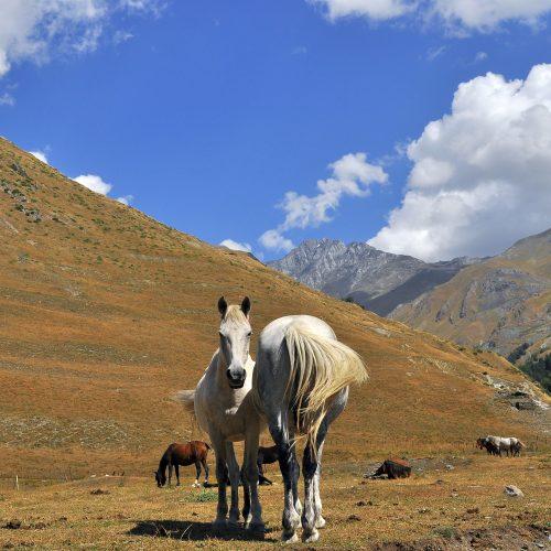 Tusheti horses