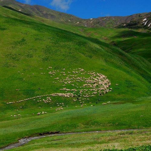 Tushetian Sheep