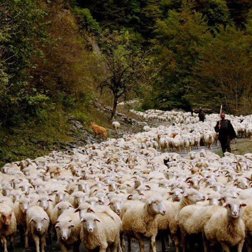 Tusheti Sheep